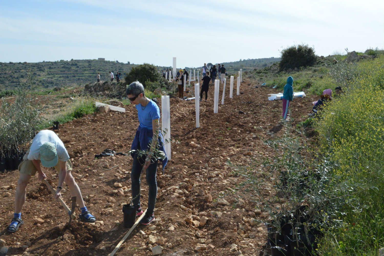 Oliventræer, plantes