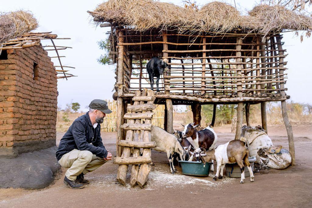 Chili Klaus kigger på geder, der spiser, i en lille by i Malawi