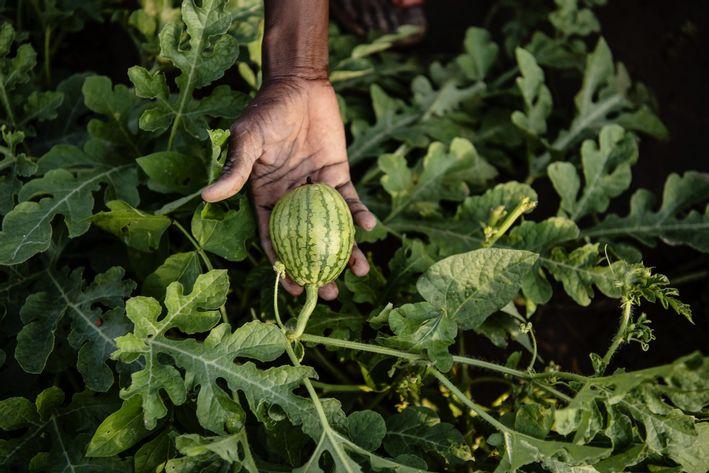 Hånd holder vandmelon i marken