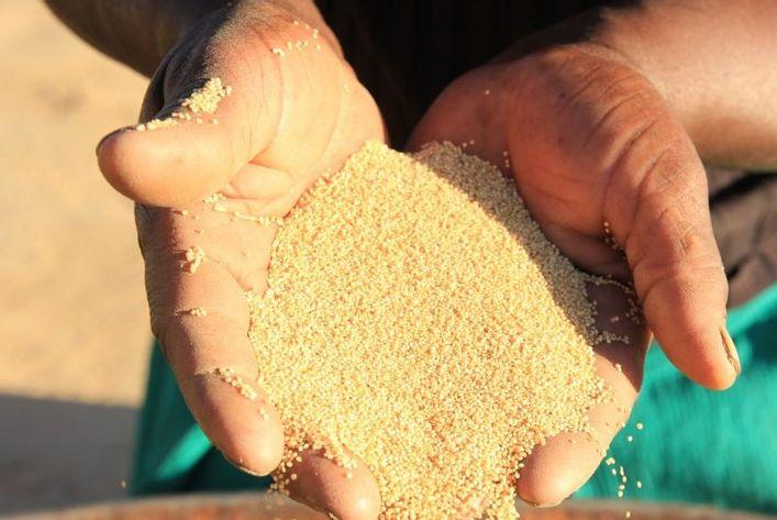 quinoa afgrøde i hænder